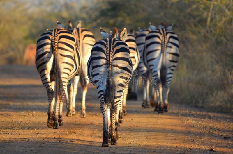 Download Cebra De Burchells (burchellii Del Quagga Del Equus) Imagen de archivo - Imagen de hierba, cierre: 41918479