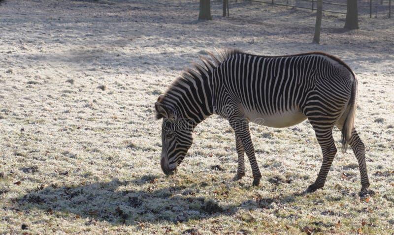 Download Cebra de Grevy imagen de archivo. Imagen de animal, forraje - 7289161