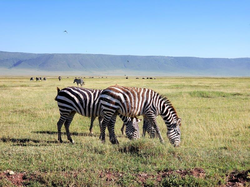 Cebra de los llanos, cráter de Ngorongoro, Tanzania imagen de archivo