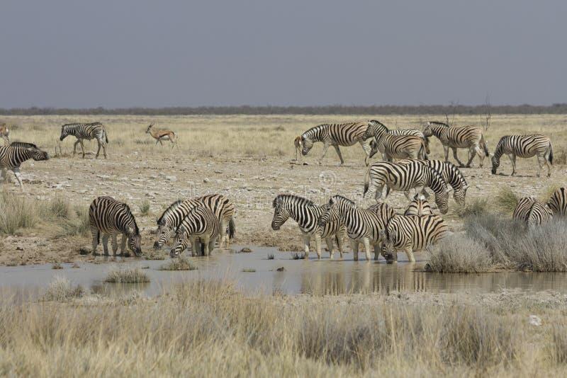 Cebra de los llanos en el agujero de riego, parque nacional de Etosha, Namibia fotografía de archivo