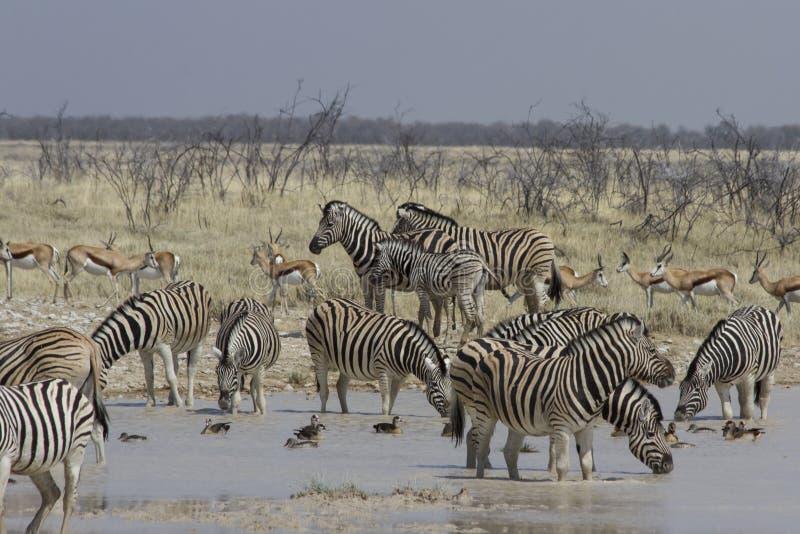 Cebra de los llanos en el agujero de riego, parque nacional de Etosha, Namibia foto de archivo