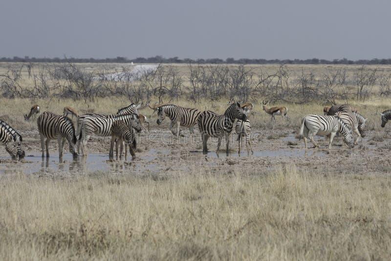 Cebra de los llanos en el agujero de riego, parque nacional de Etosha, Namibia imagen de archivo libre de regalías