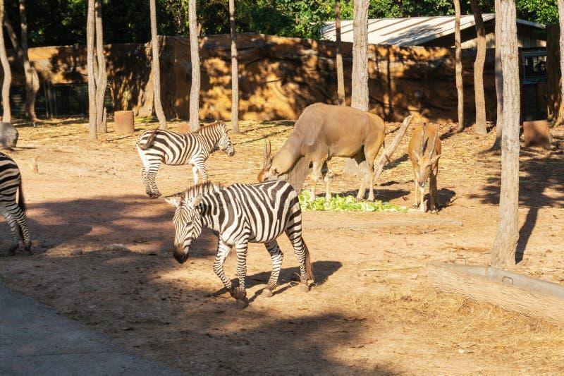 Cebra de los llanos en el parque zoológico del safari imagen de archivo libre de regalías