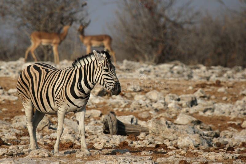 Cebra de los llanos (quagga del Equus) imágenes de archivo libres de regalías