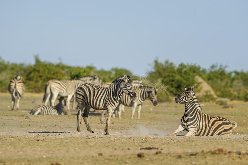 Cebra de los llanos - quagga del Equus fotos de archivo