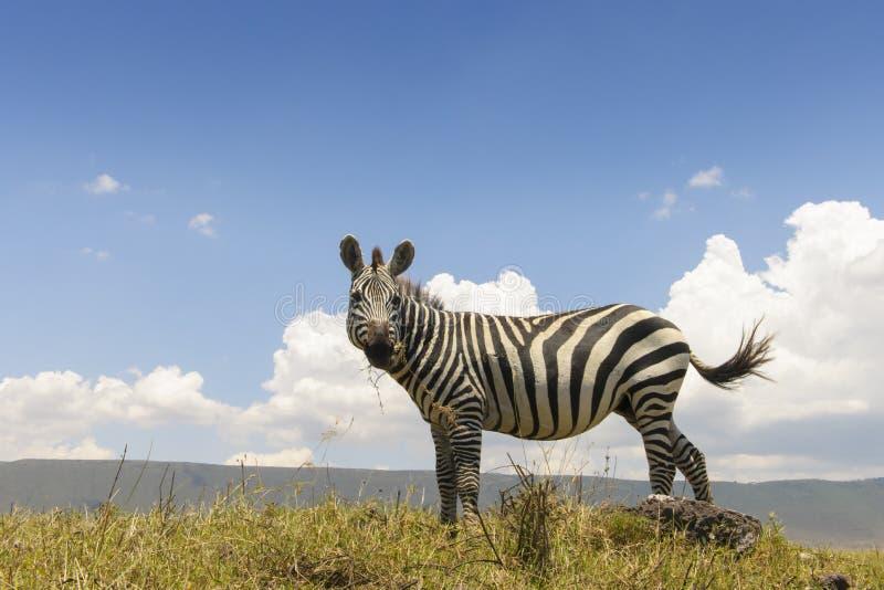 Cebra de los llanos (quagga del Equus) de debajo imágenes de archivo libres de regalías