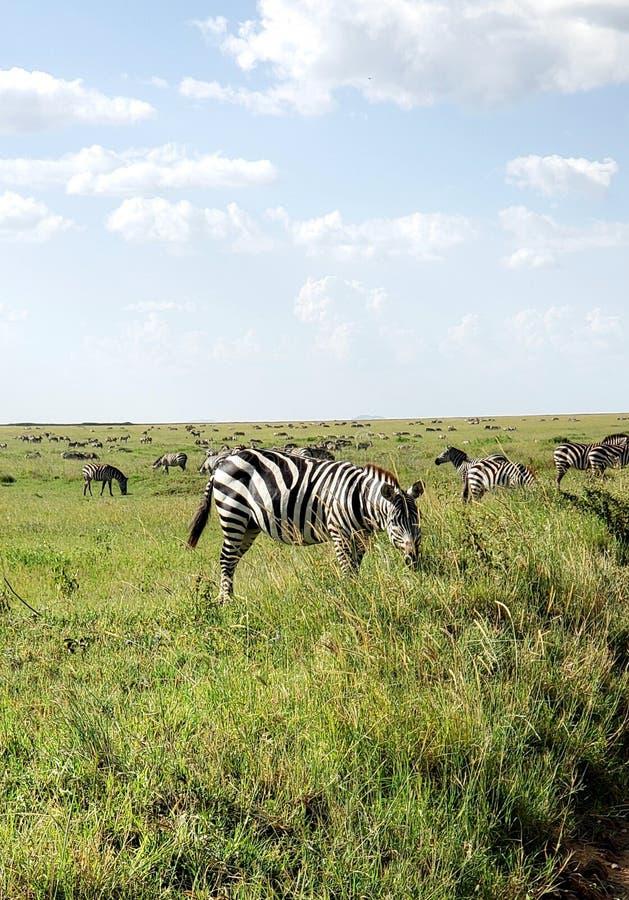 Cebra de los llanos que pasta en el parque de Serengeti Natioal, Tanzania fotografía de archivo libre de regalías