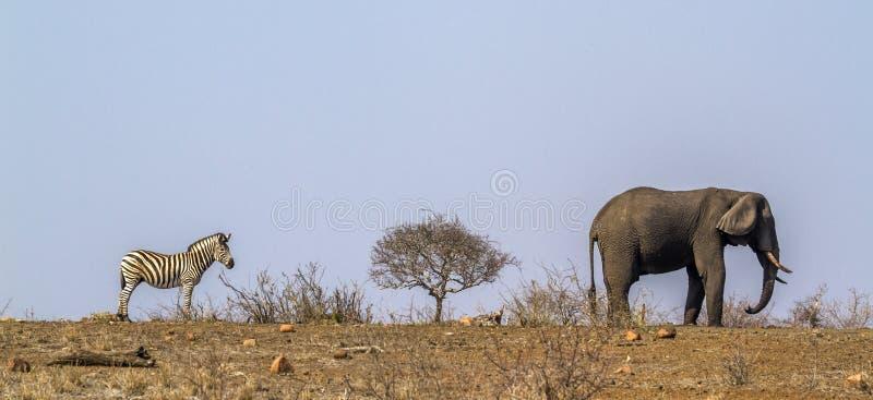 Cebra de los llanos y elefante africano del arbusto en el parque nacional de Kruger, fotografía de archivo