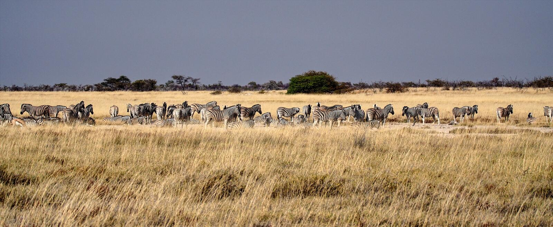 Cebra de monta?a, cebra del Equus en el parque nacional de Etosha, Namibia fotos de archivo libres de regalías