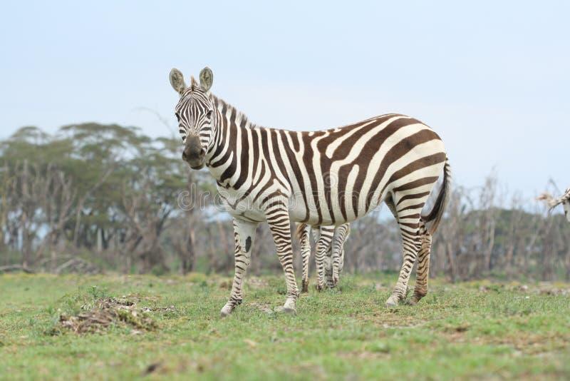 Cebra de Nakuru imagen de archivo