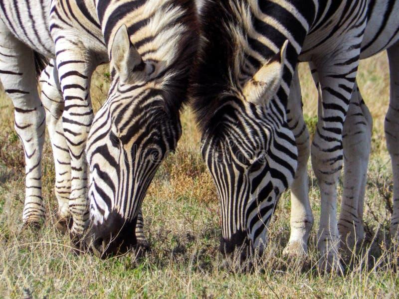 Cebra dos que come la hierba junta en Addo Elephant Park, sur imagen de archivo
