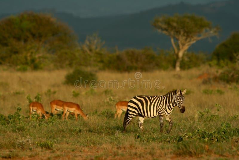 Cebra e impala fotografía de archivo