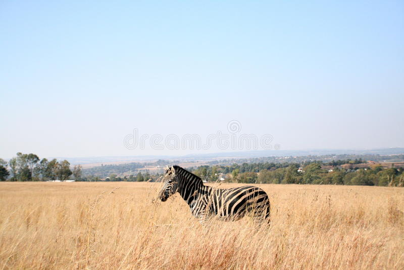 Cebra en África fotos de archivo libres de regalías