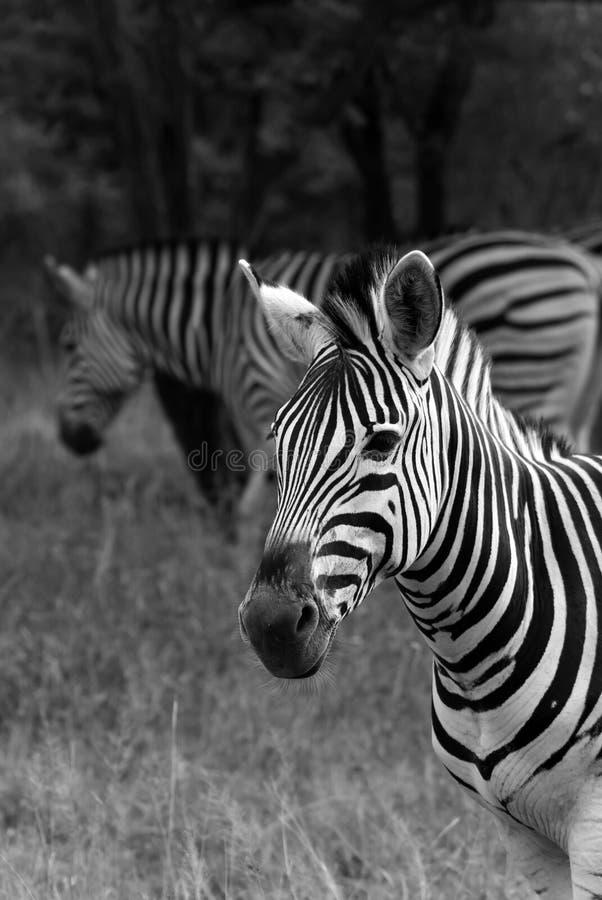 Cebra en blanco y negro imagenes de archivo