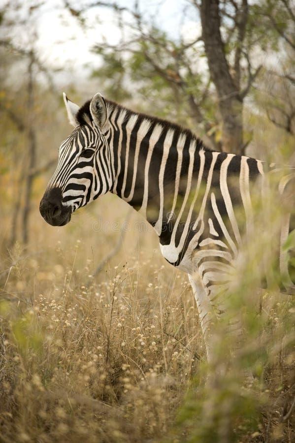 Cebra en el arbusto foto de archivo libre de regalías