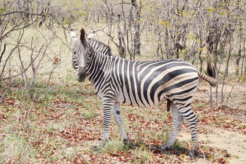 Cebra en el parque nacional de Kruger fotografía de archivo libre de regalías