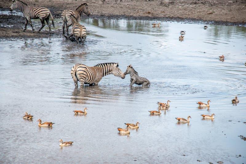 Cebra en el parque nacional de Kruger, Suráfrica de la vinculación foto de archivo libre de regalías