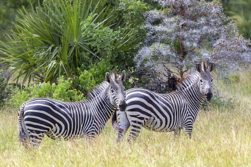 cebra 2 en el prado de la fauna de la reserva del juego del aire libre fotos de archivo