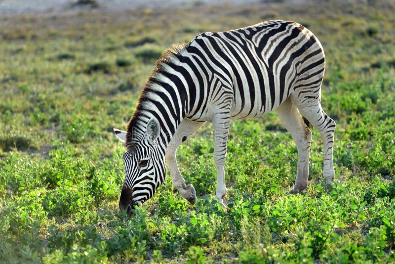 Cebra en Etosha, Namibia imagenes de archivo