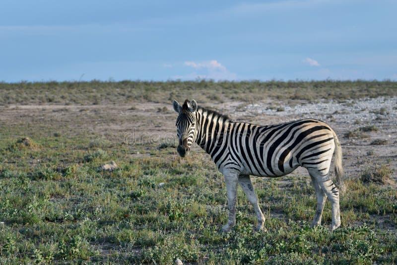 Cebra en Etosha, Namibia fotos de archivo