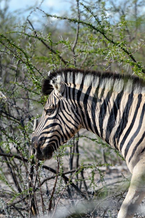 Cebra en Etosha, Namibia foto de archivo
