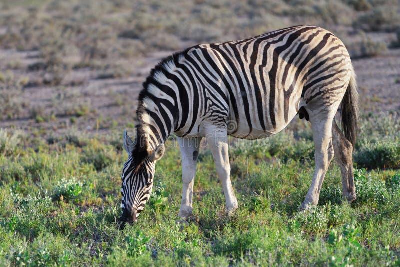 Cebra en Etosha, Namibia fotografía de archivo libre de regalías