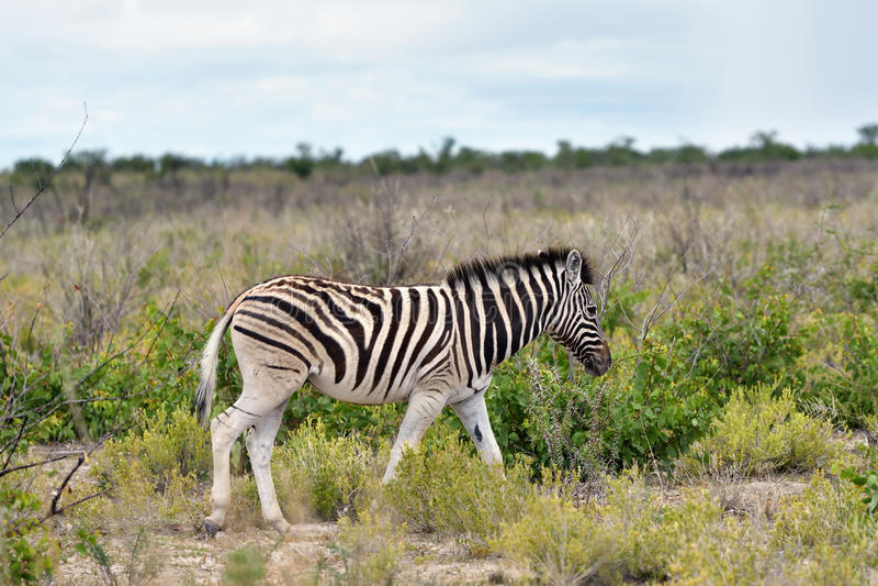 Cebra en Etosha, Namibia imagen de archivo