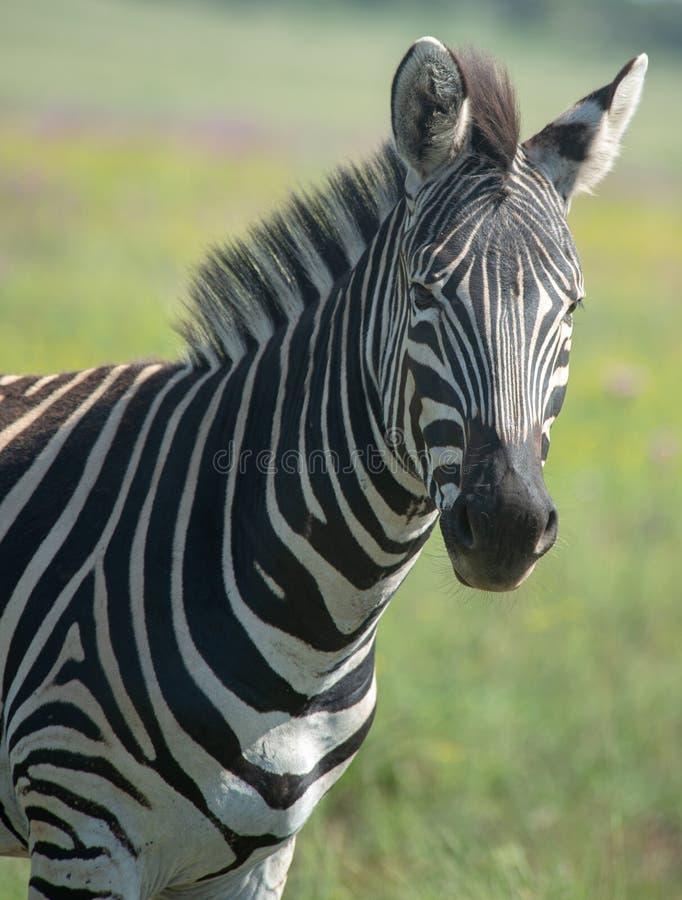 Cebra en la sabana surafricana imagen de archivo libre de regalías