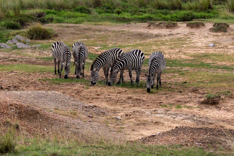 Cebra en Masai Mara, Kenia, África de dos llanos foto de archivo libre de regalías