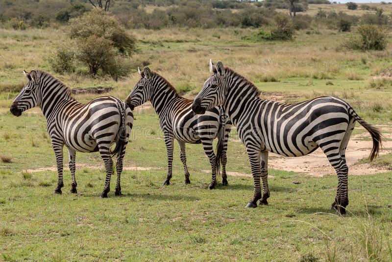 Cebra en Masai Mara, Kenia, África de tres llanos imagen de archivo
