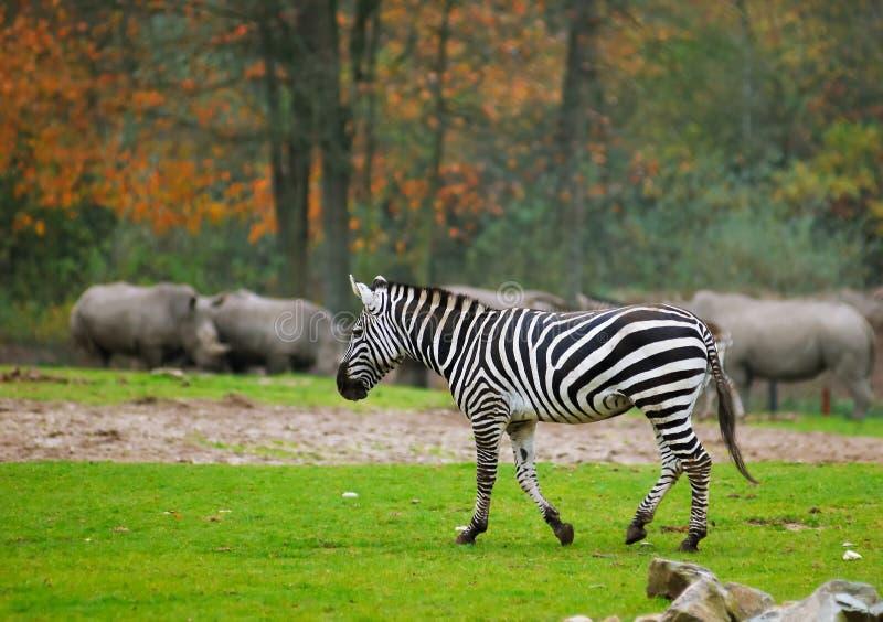 Cebra en parque del safari imagenes de archivo
