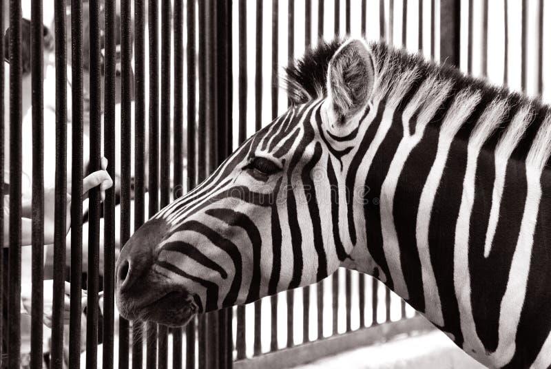 Cebra en parque zoológico foto de archivo