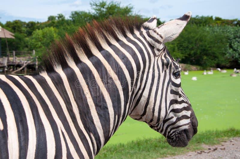 Cebra en safari imagen de archivo