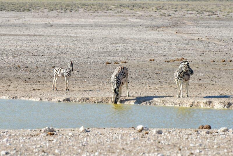Cebra - Etosha, Namibia imágenes de archivo libres de regalías