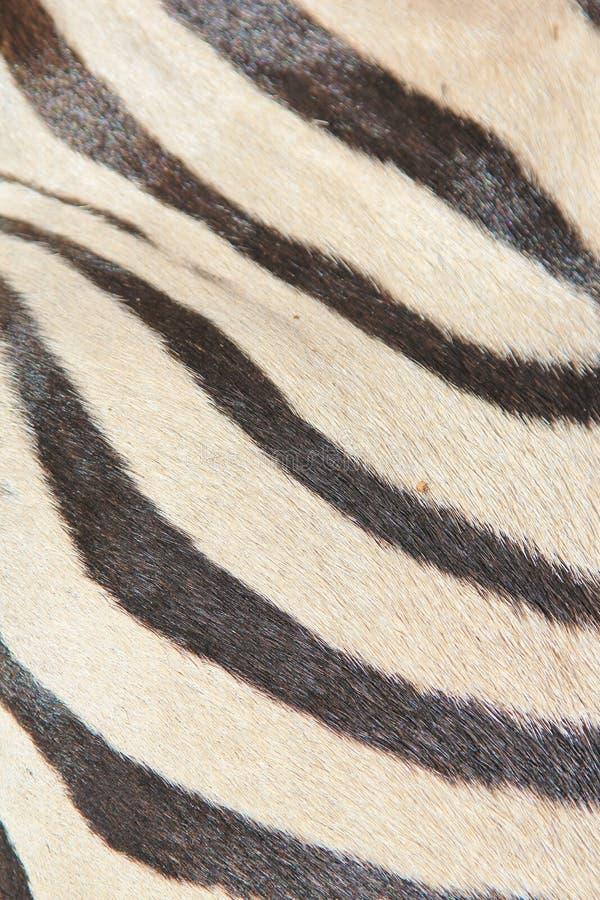 Cebra - fauna africana - arte natural blanco y negro fotografía de archivo libre de regalías