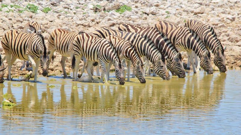 Cebra - fondo africano de la fauna - colores alineados en naturaleza fotos de archivo