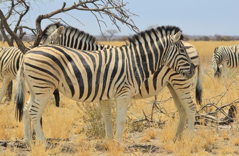 Cebra - fondo de la fauna de África - rayas hermosas del doble del semental foto de archivo libre de regalías
