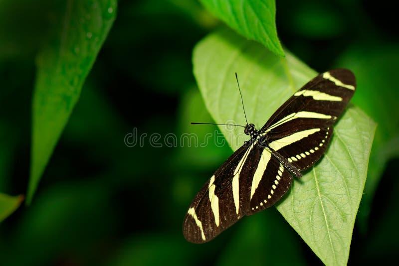 Cebra hermosa Longwing, charitonius de la mariposa de Heliconius Insecto agradable de Costa Rica en el bosque verde fotografía de archivo