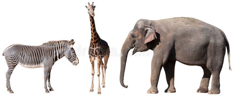 Cebra, jirafa y elefante imagenes de archivo