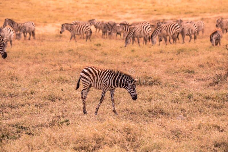 Cebra joven del bebé con el modelo de rayas blancos y negros Escena de la fauna de la naturaleza en la sabana, África Safari en p fotos de archivo