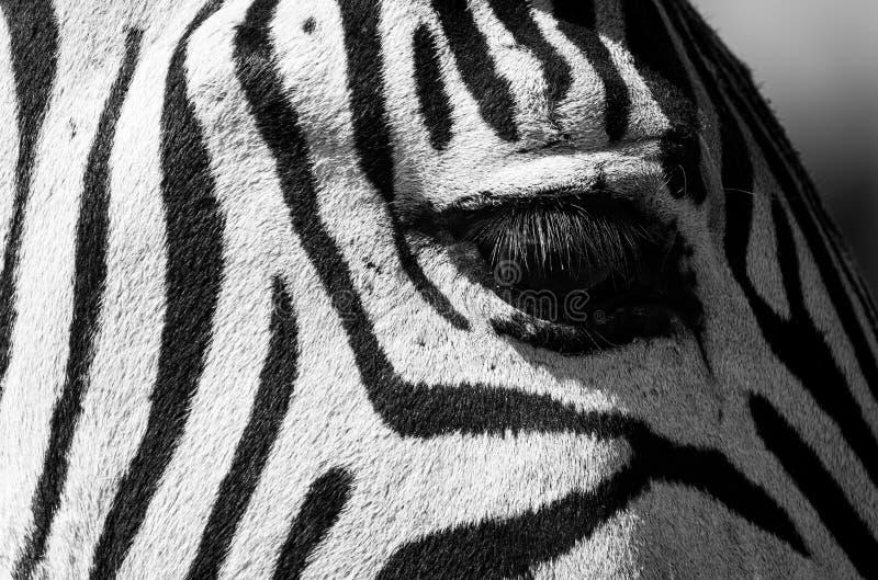 Cebra joven en cierre para arriba, fotografiado en el parque del elefante de Knysna, ruta del jardín, Western Cape, Suráfrica imágenes de archivo libres de regalías