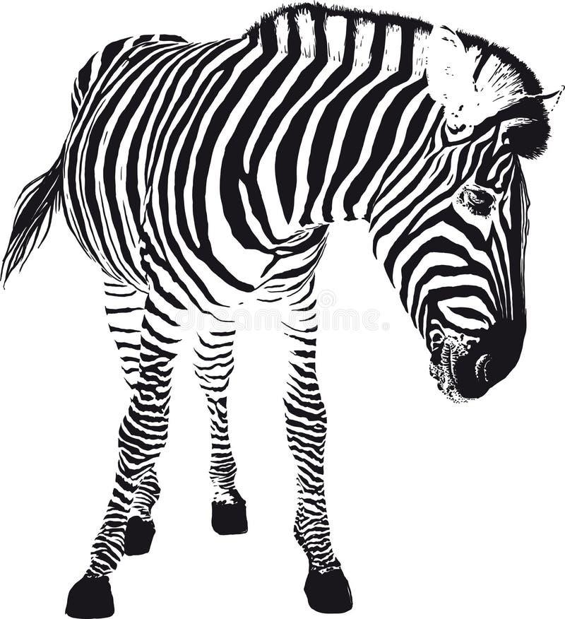 Cebra juguetona stock de ilustración