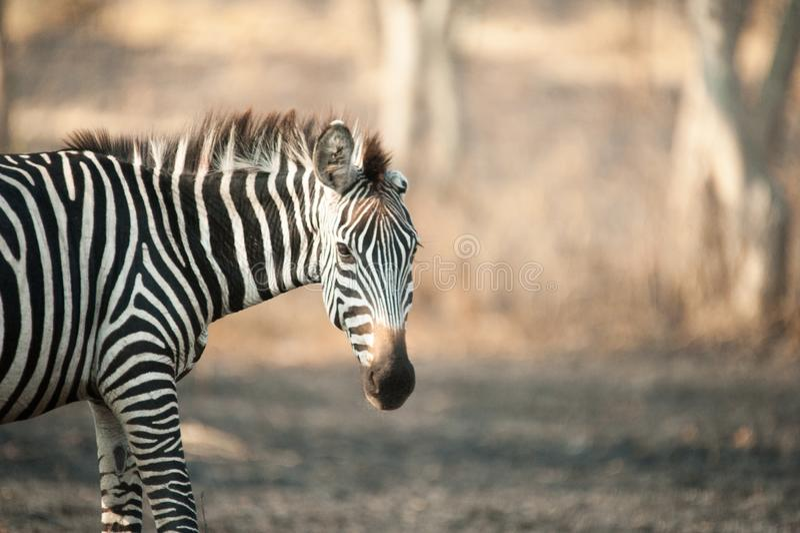 Cebra, lago Mburo, Uganda imagenes de archivo