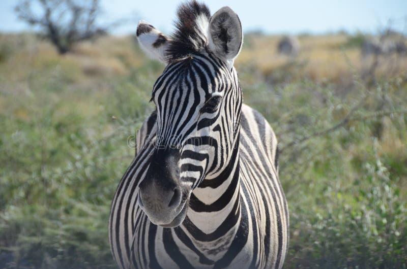 Cebra, parque nacional de Etosha, Namibia fotos de archivo