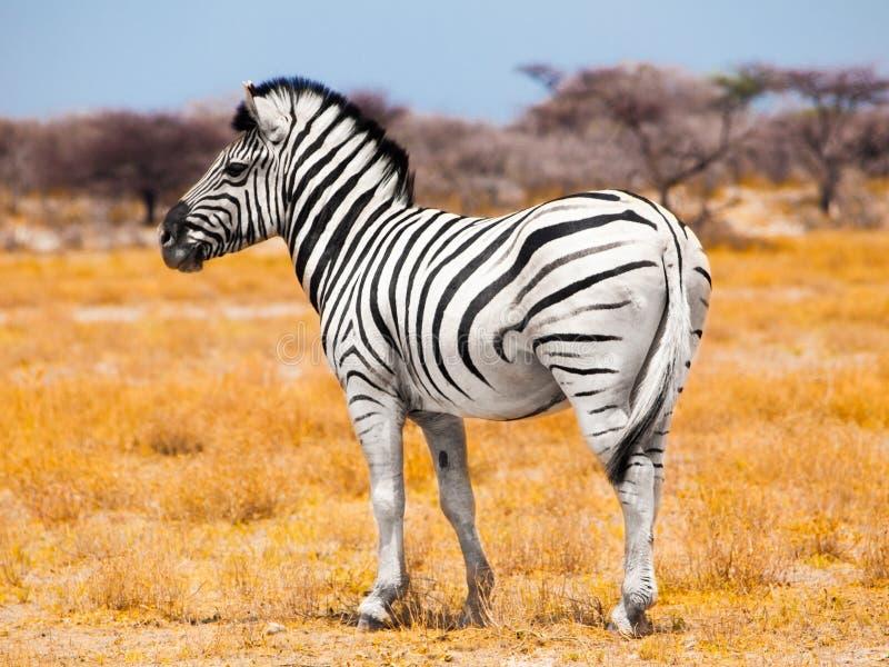 Cebra que se coloca en el medio del prado africano seco, parque nacional de Etosha, Namibia, África imagenes de archivo