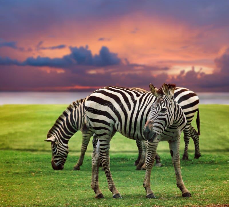 Cebra salvaje que se opone en campo de hierba verde al uso oscuro hermoso del cielo para la vida salvaje y animales en desierto d fotografía de archivo libre de regalías
