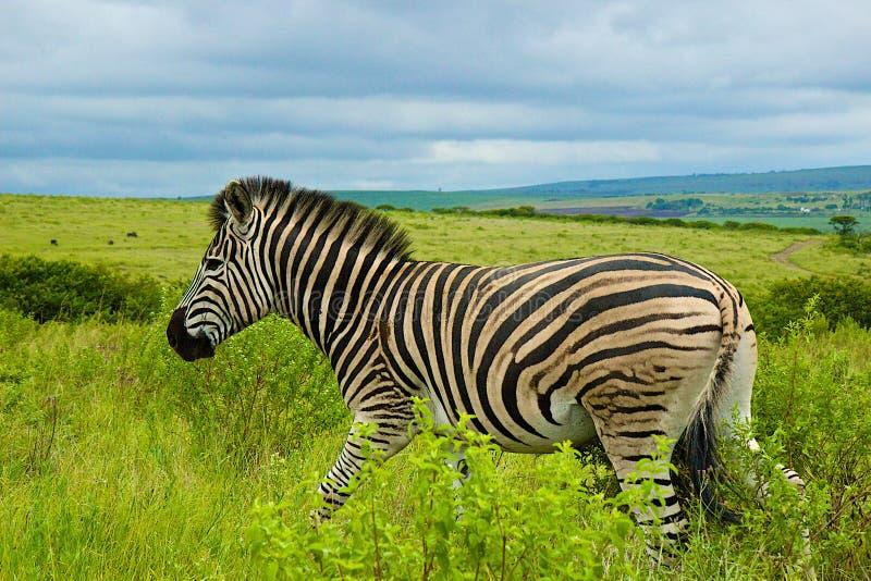 Cebra, Suráfrica fotos de archivo libres de regalías