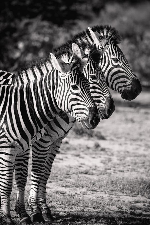 Cebra tres en fila Safari Animals negra y blanca fotografía de archivo libre de regalías