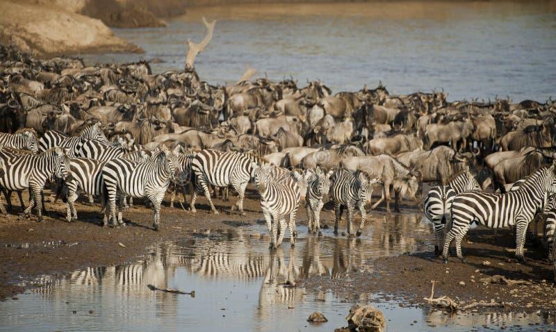 Cebra y ñu en la gran migración foto de archivo libre de regalías