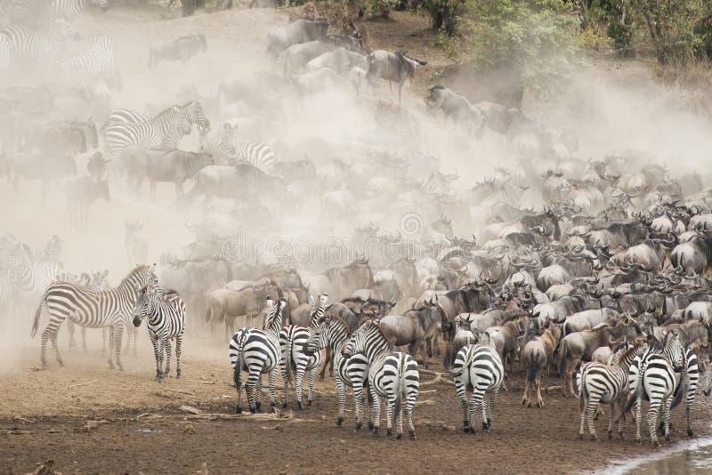 Cebra y ñu en la gran migración fotos de archivo